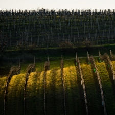 Light in the vineyard